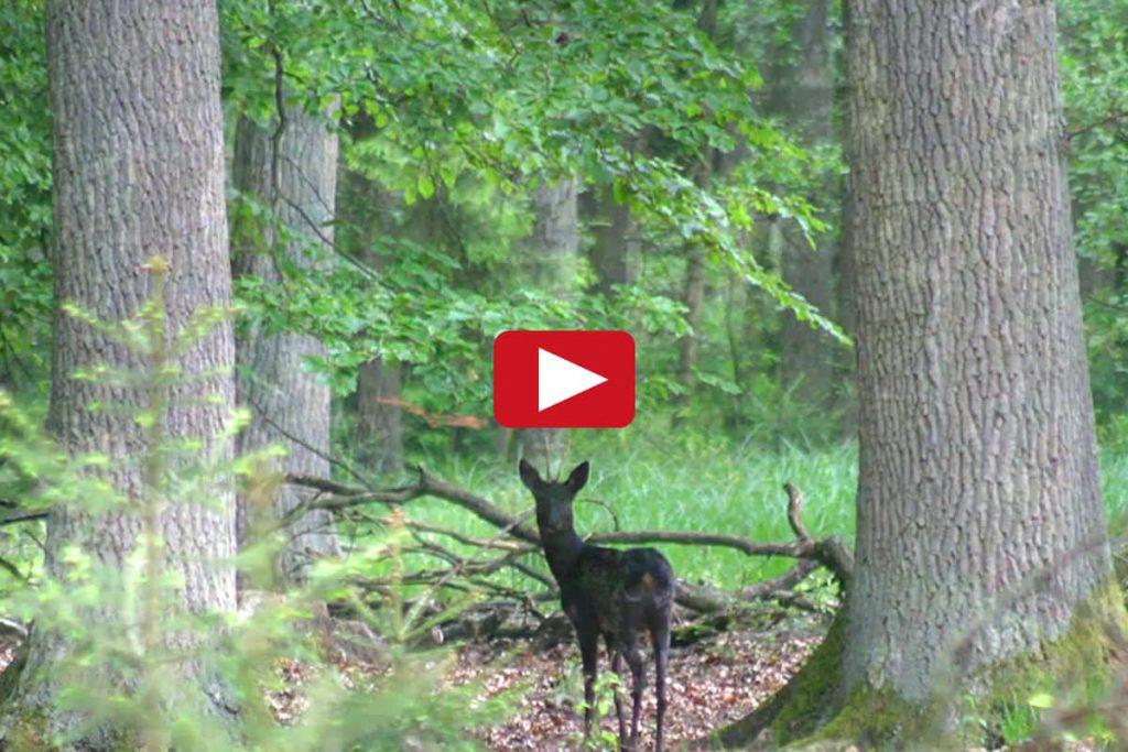 Zum Video - Sommer im Wald vom Naturum Göhrde